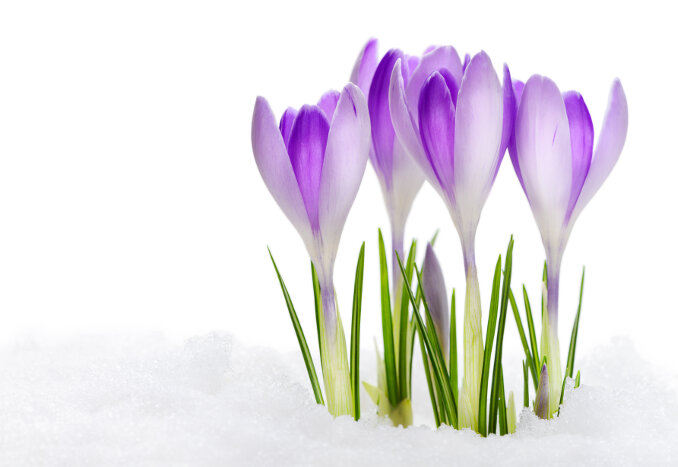 Flowering Vanuguard Crocuses isolated on white background